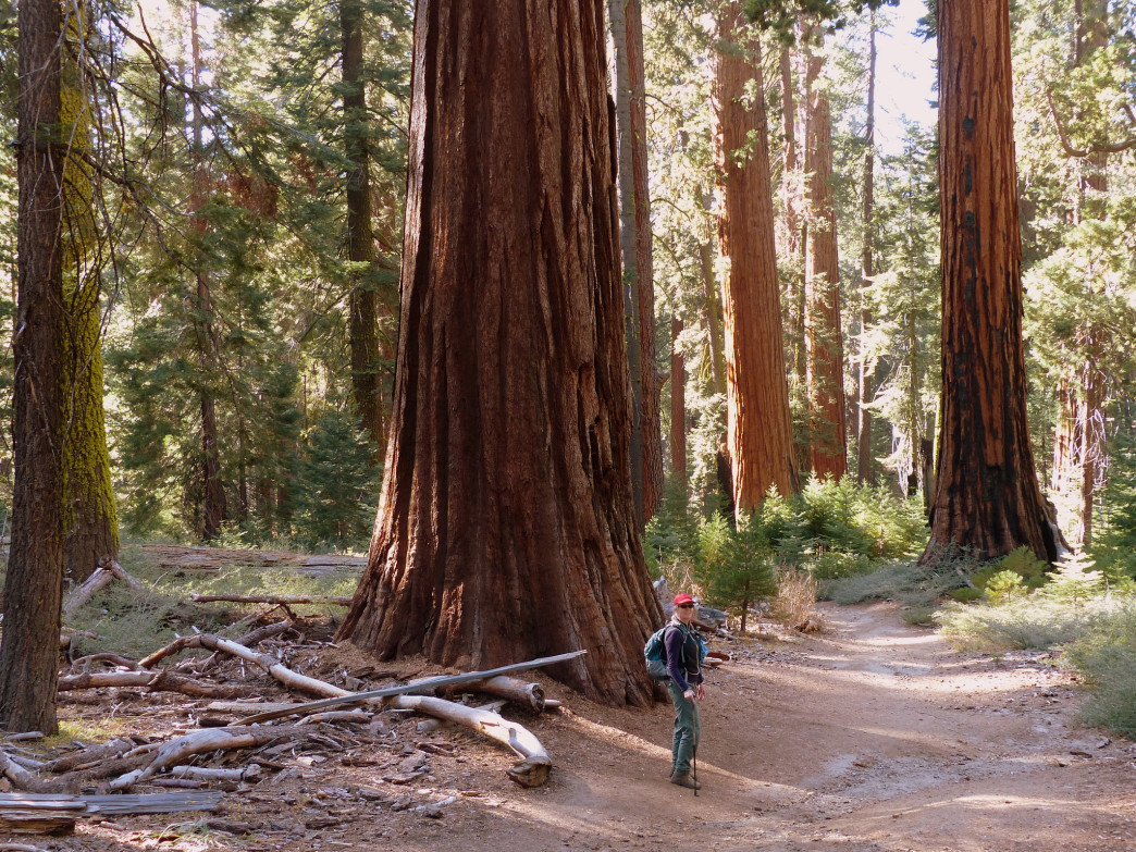 Among the Giant sequoias in Mariposa Grove