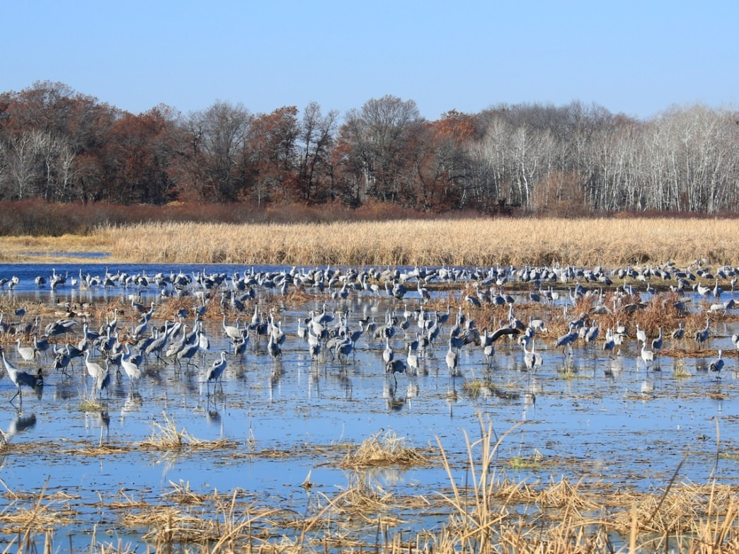 Thousands of sandhill cranes are visible during the migration season.