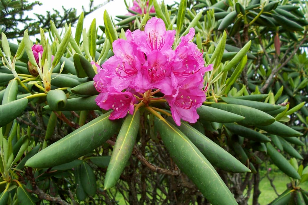 Rhododendron inRoan Mountain, Pisgah National Forest.