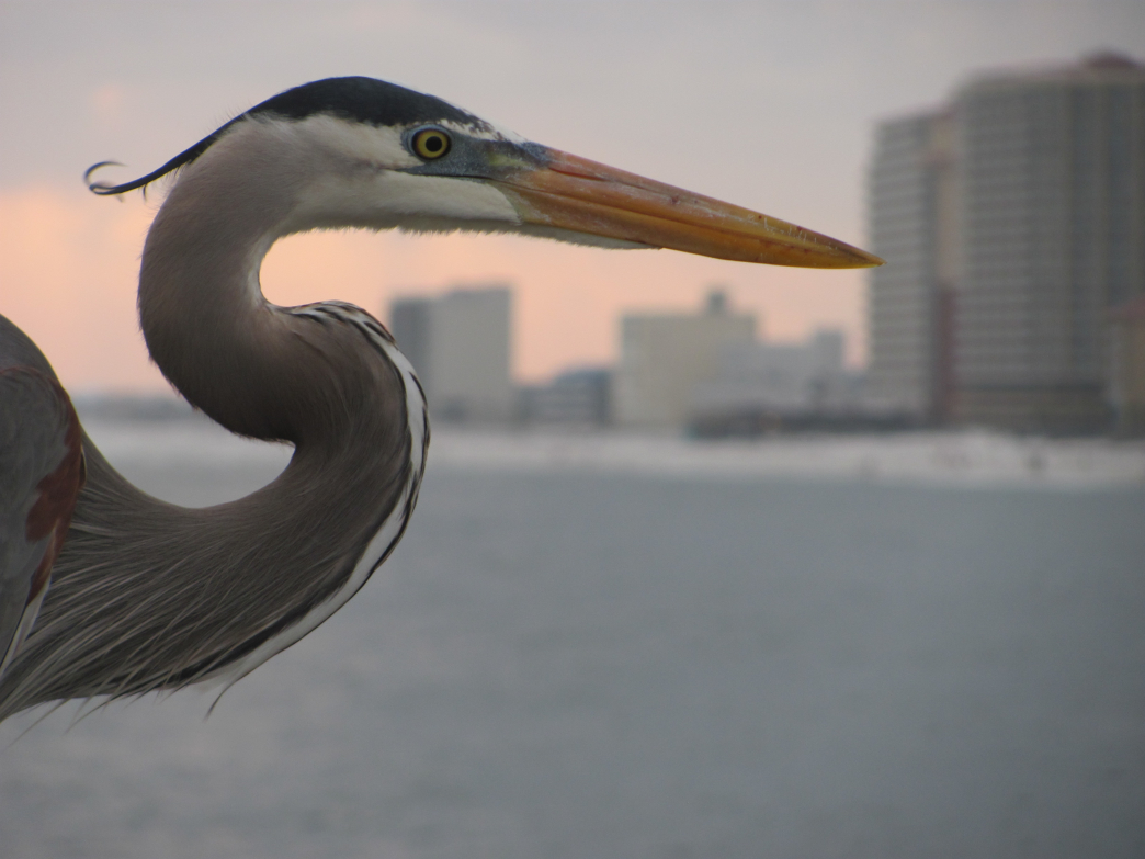 Herons are one of many bird species found along the southern coast of the state of Alabama.