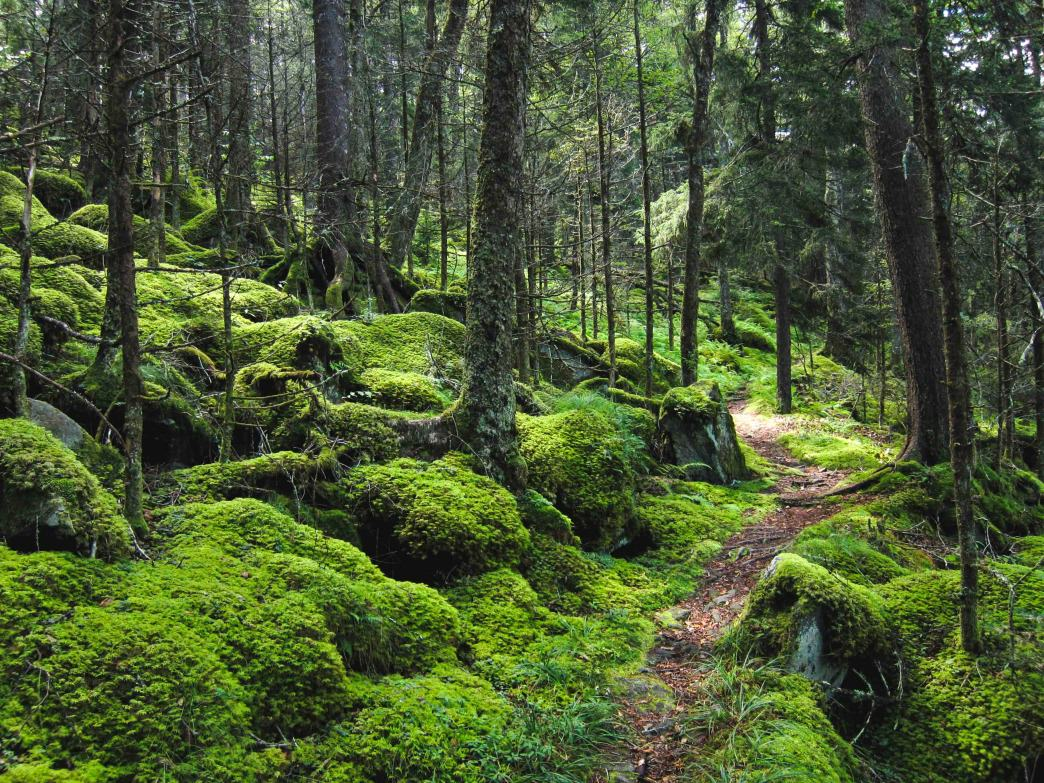 The Baxter Creek Trail winds through dense, carpeted forests on its way up to Mount Sterling.