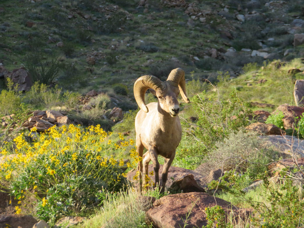A bighorn sheep stands in a field of yellow desert dandelions.