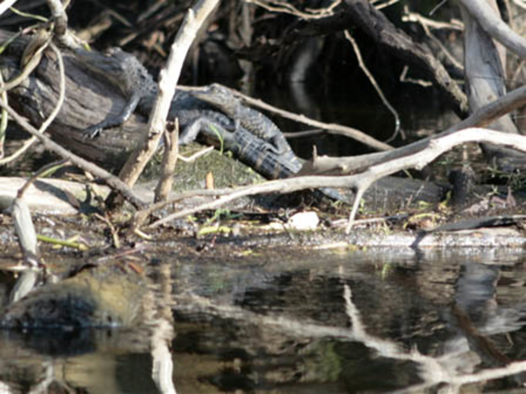 Little alligators resting along the Econlockhatchee River