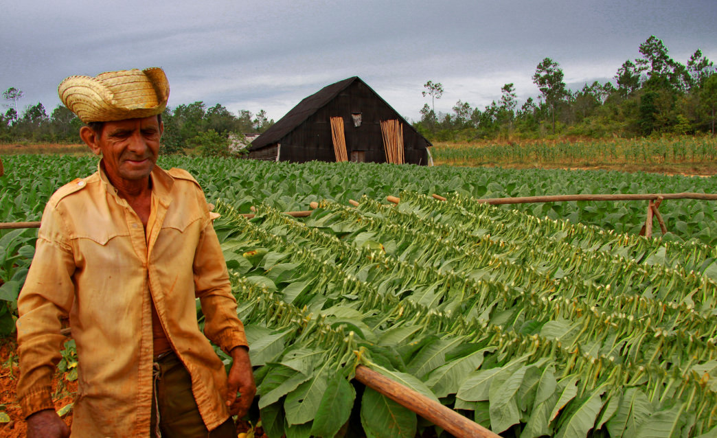 In the tobacco fields.