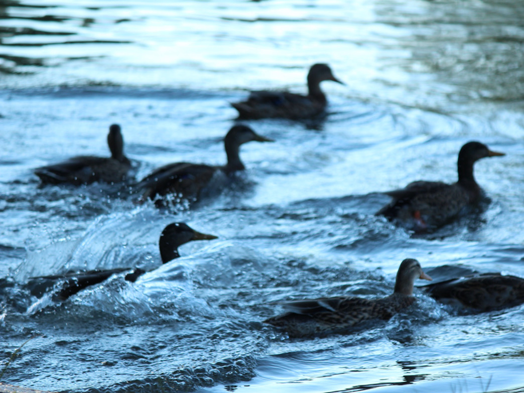 Dog help keep waterfowl (and their droppings) out of the park.