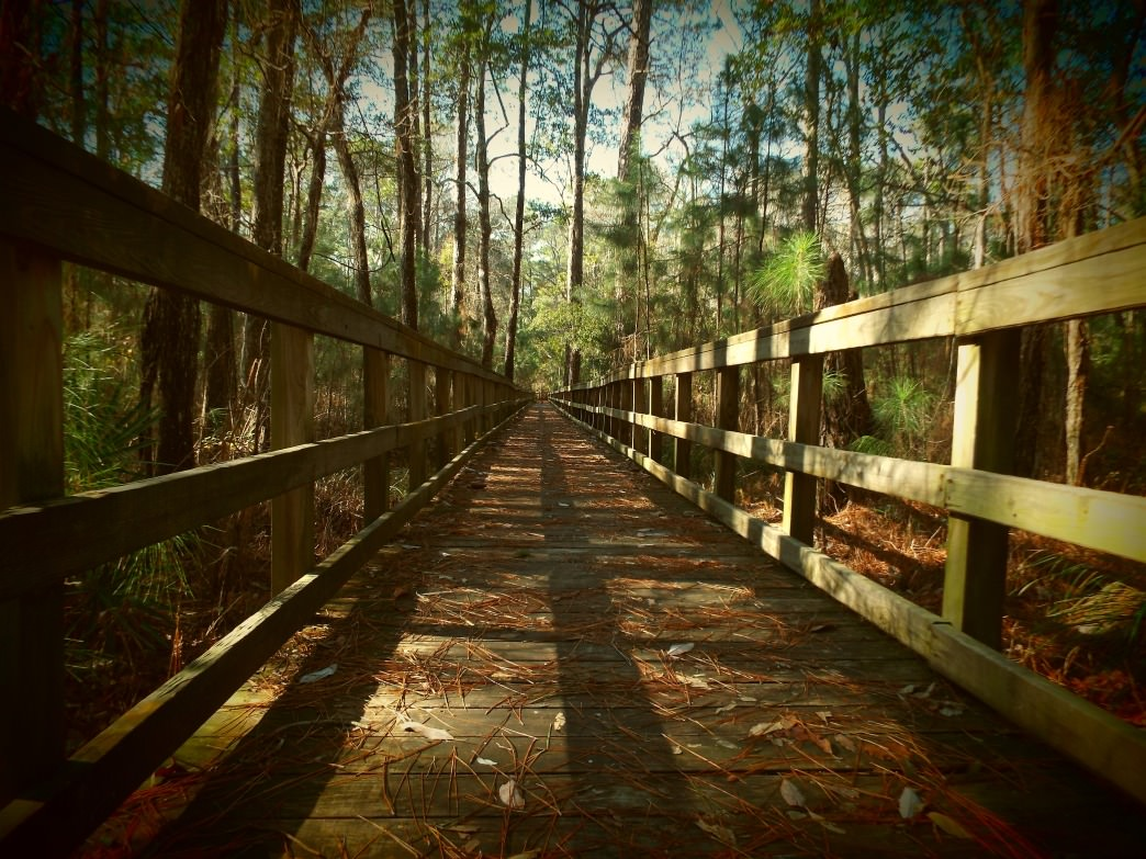 Explore the the maritime forest as it transitions from boardwalk to dune swales and swamps.