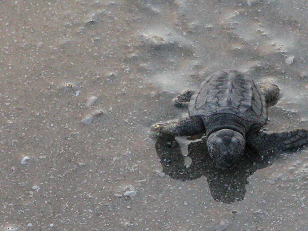 A baby Loggerhead makes its way down the beach