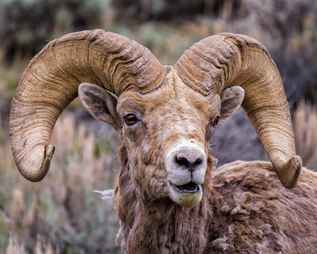The largest herd of bighorn sheep in the world has made its home in Whiskey Basin.