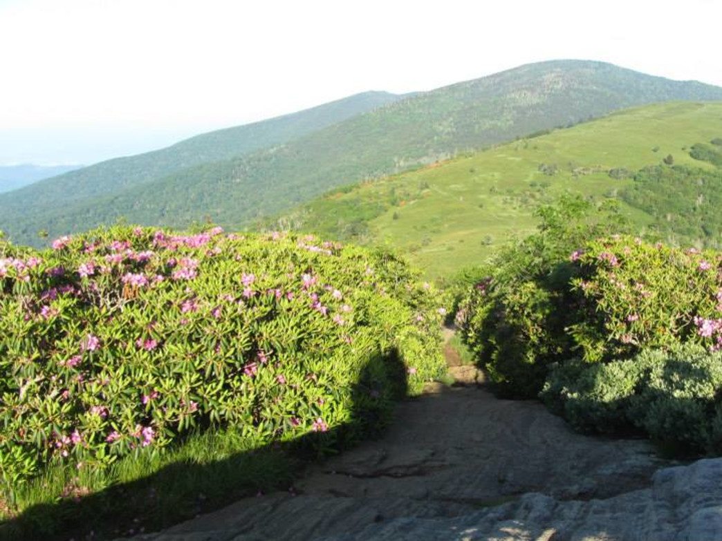 Few places frame such an expanse of Catawba rhododendron better than the highlands of Roan Mountain