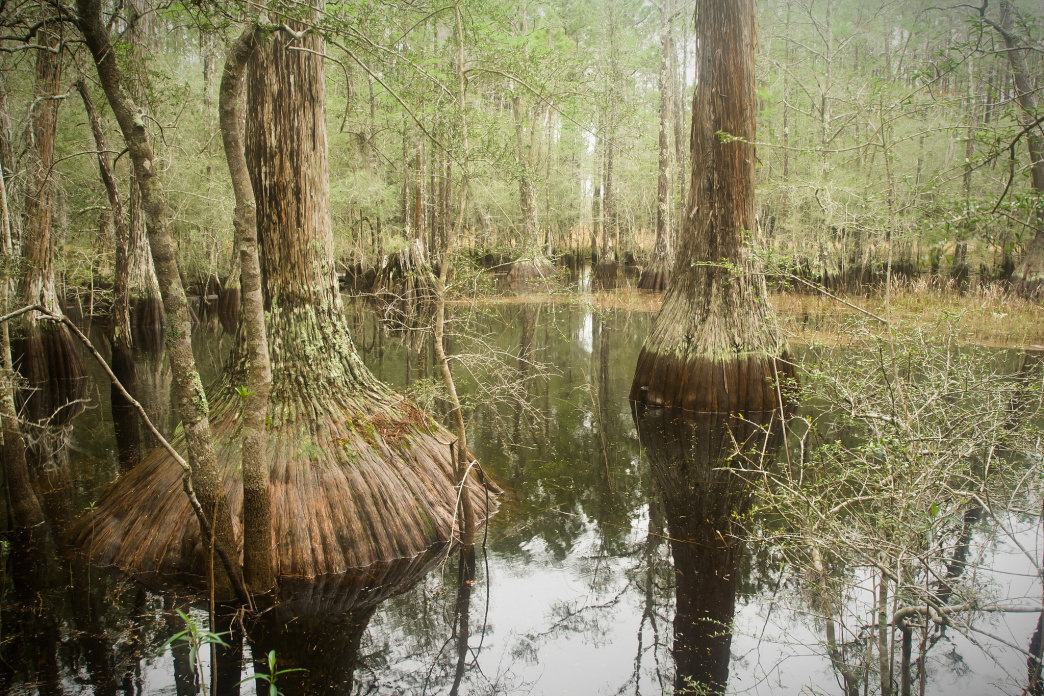 A Tupelo swamp in the Apalachicola National Forest.