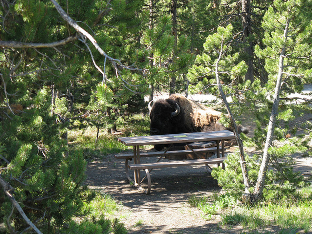 All sorts of wildlife can find their way into your campsite around Jackson Hole.