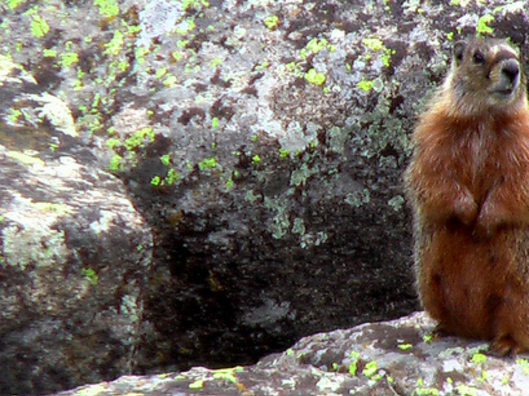 Wyoming's high country is a great place to see marmots.