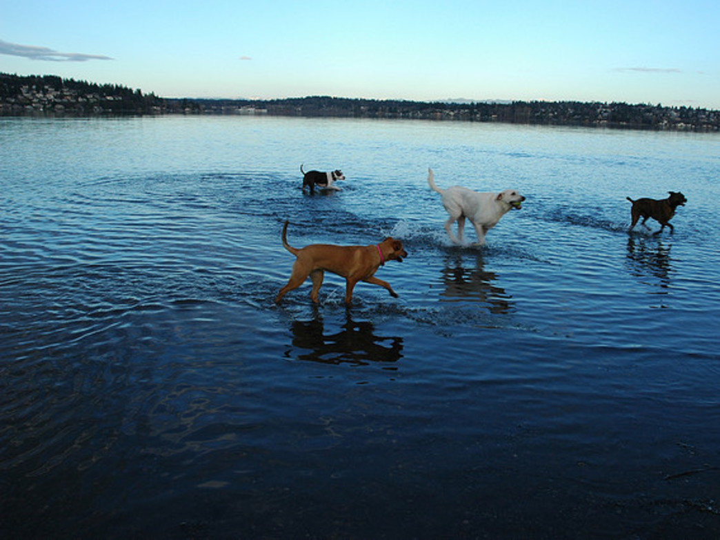Dogs can play in Lake Washington in Magnuson Park's off-leash area.