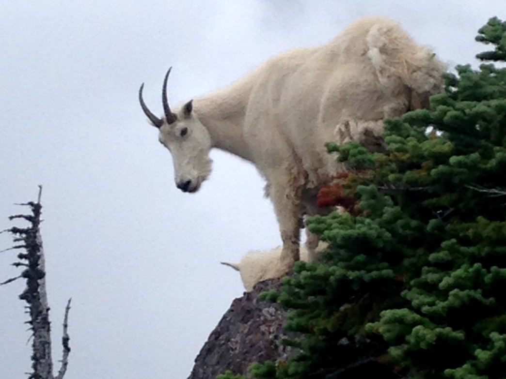 A mountain goat perched atop Mt. Ellinor
