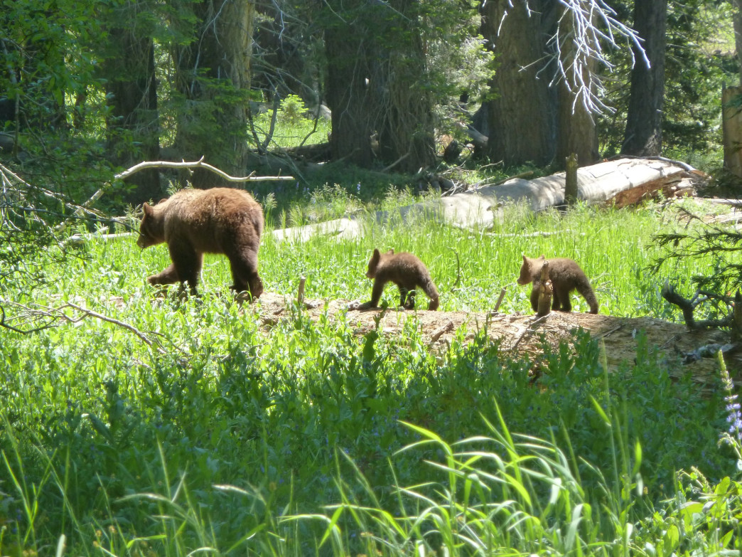 Bears are frequently spotted in the parks.