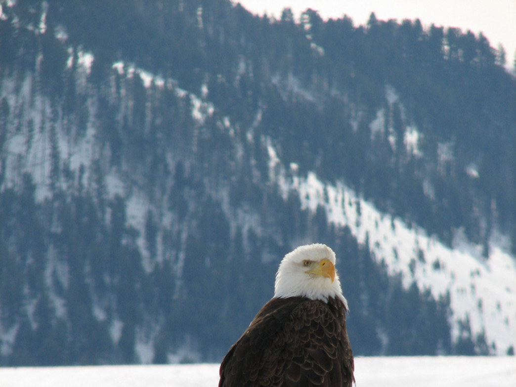 A bald eagle in the National Elk Refuge