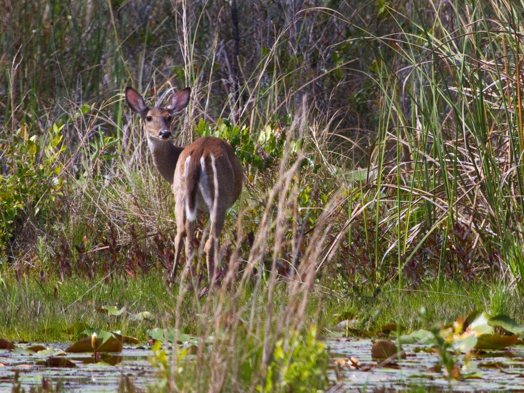 Wildlife in Grayton Beach State Park, Florida.