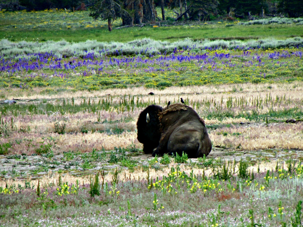 Bison, birds, and wildflowers make for interesting scenery near Storm Point.
