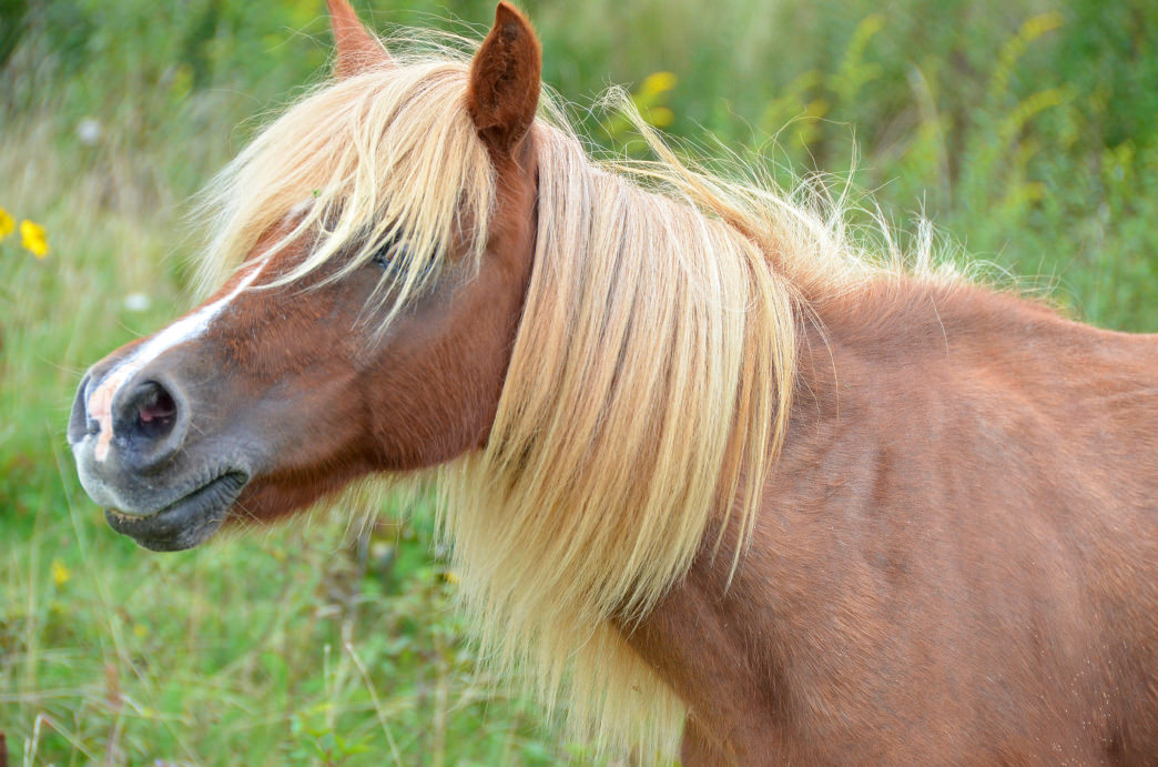 Southwest Virginia's most famous residents are the wild ponies wandering the high country of the Mount Rogers National Recreation Area and Grayson Highlands State Park.