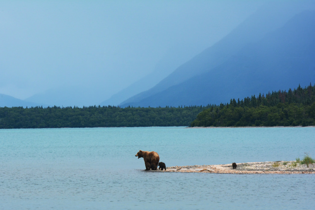 Mother grizzly with cubs on the edge of Naknek Lake. Katmai National Park, Alaska.