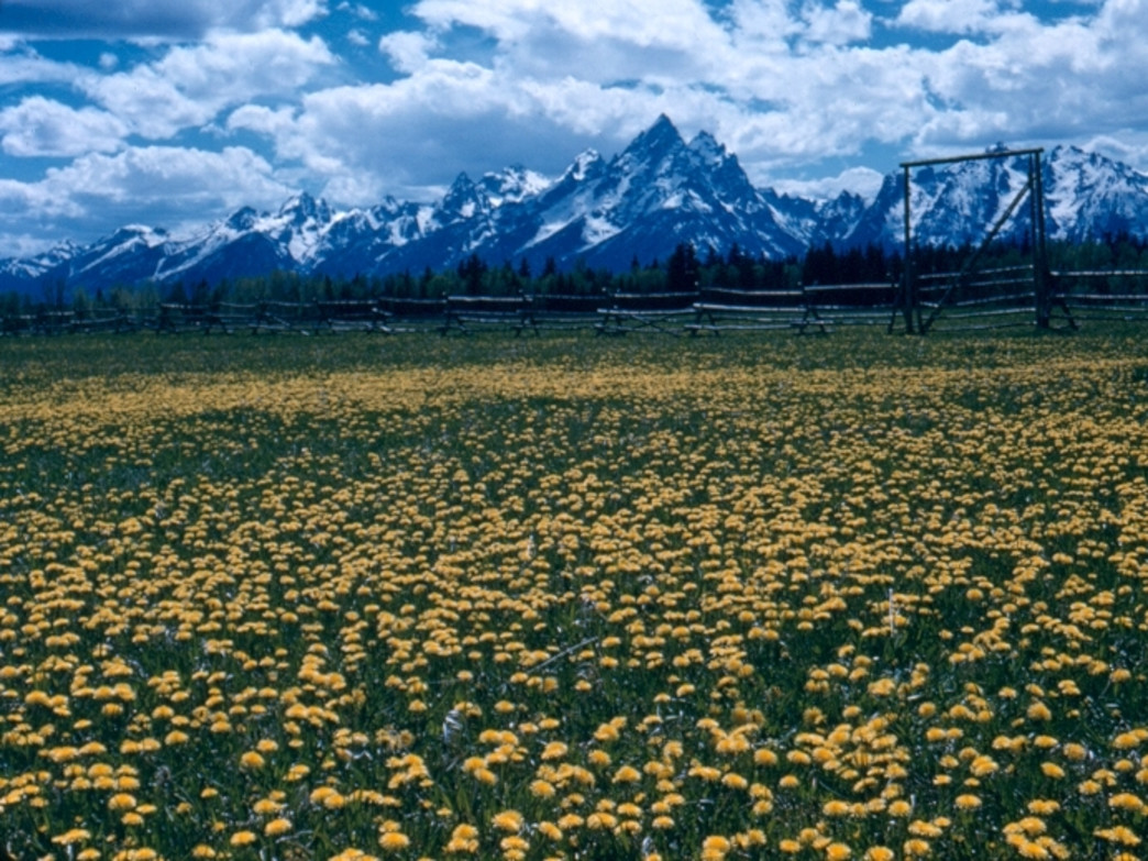Enjoy the first wildflowers of the summer in Grand Teton National Park.