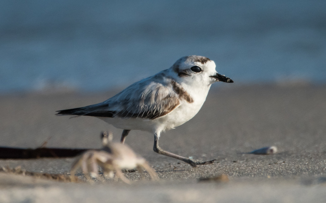 Snowy plover are year-round residents of the refuge.