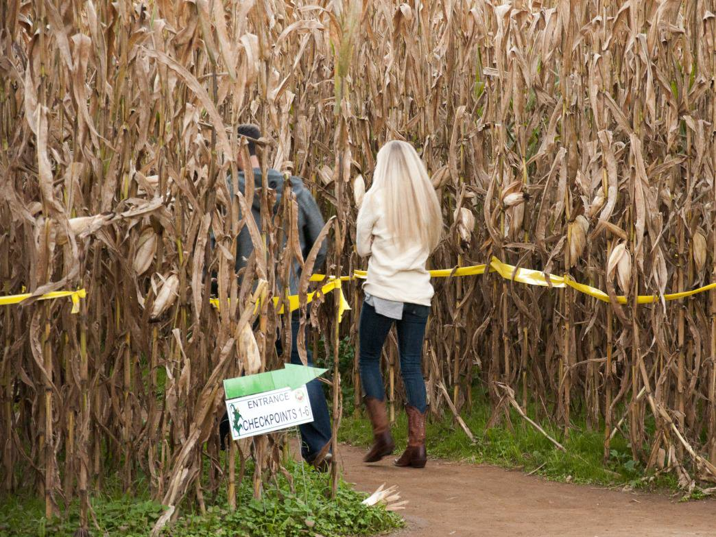Couples escaping into Uncle Shuck's Corn Maze.