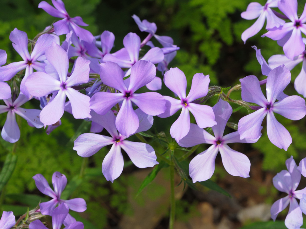 Keep an eye out for wild phlox on the Cutchenmine Trail.