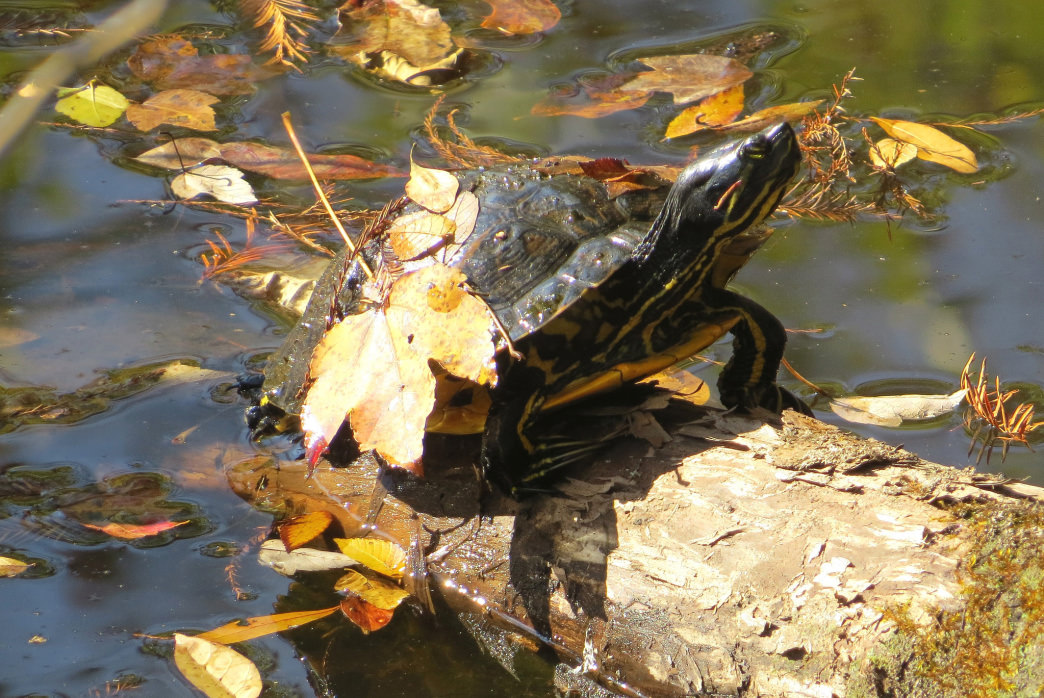 Turtle enjoying the autumn air at Congaree National Park.