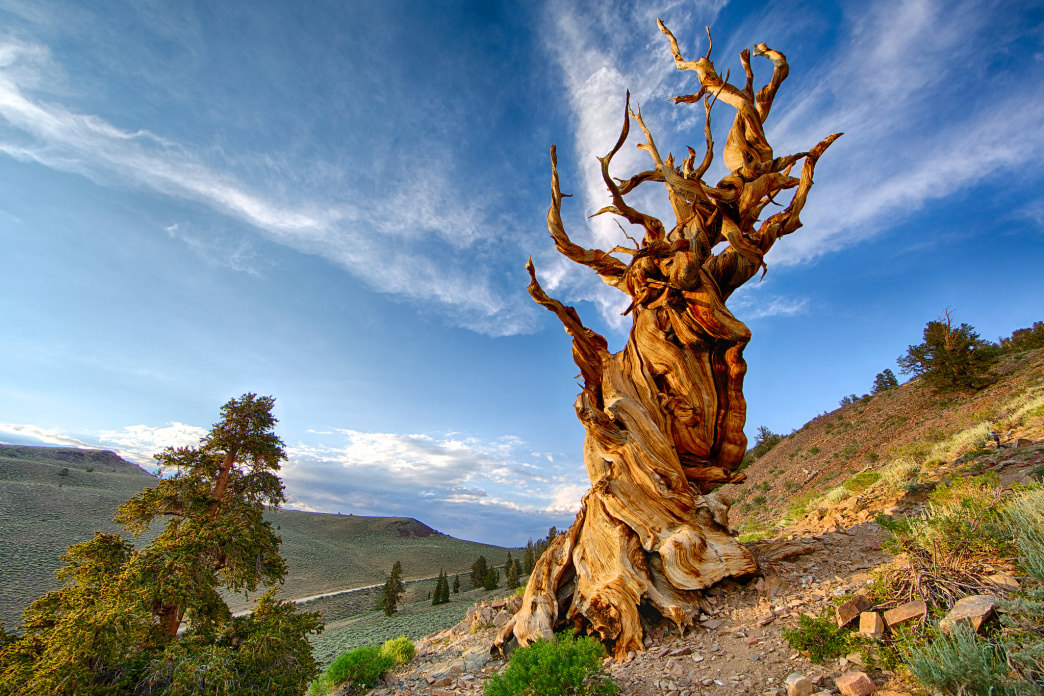 The ancient bristlecone pines are a unique sight to see.