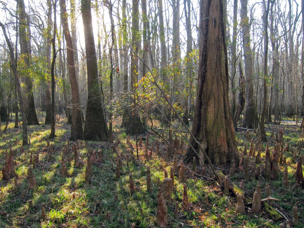 Explore old-growth bottomland forest in Congaree National Park.