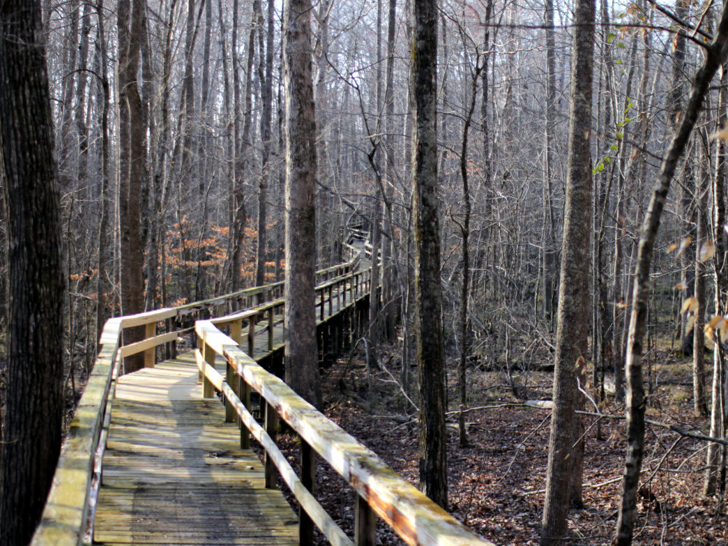 Once you're finished riding, take a short walk on the boardwalk through Dismal Swamp.
