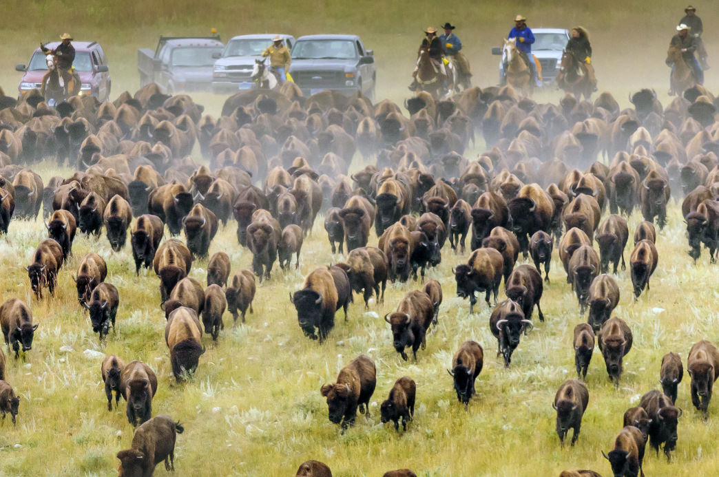 The buffalo roundup at Custer State Park each September is a sight to behold.