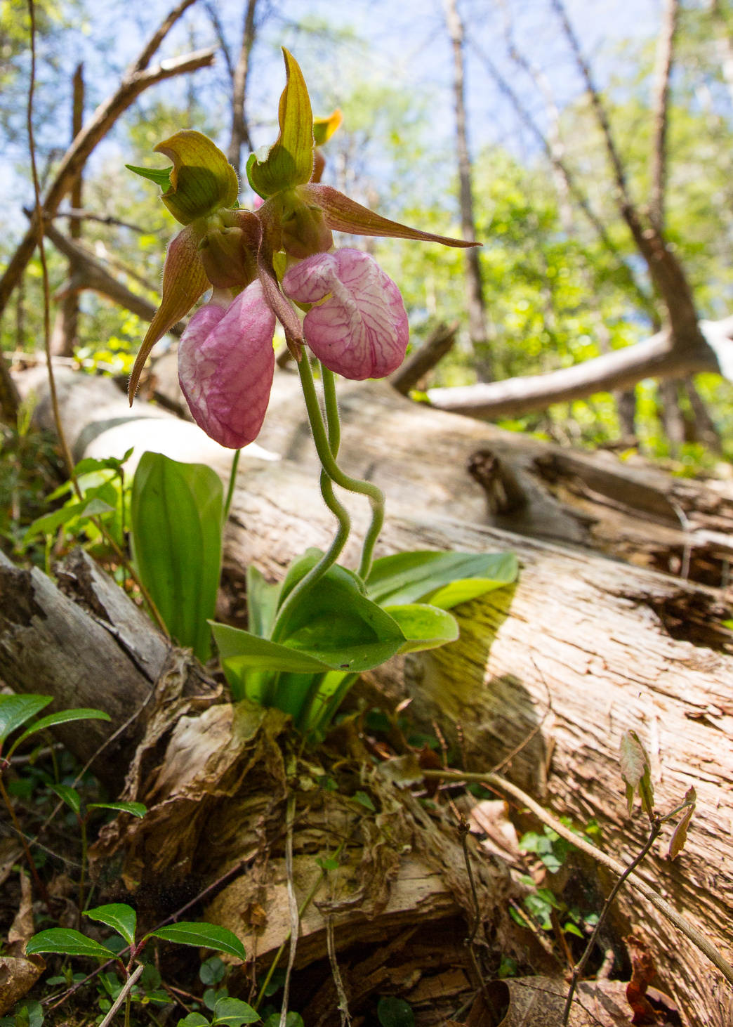 Pink Lady Slipper bloom near Cades Cove in the Smokey Mountains.
