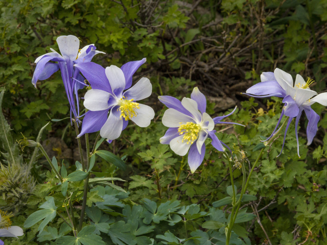 Blue columbines, Colorado's state flower, greet hikers along the East Inlet Trail in Rocky Mountain National Park.