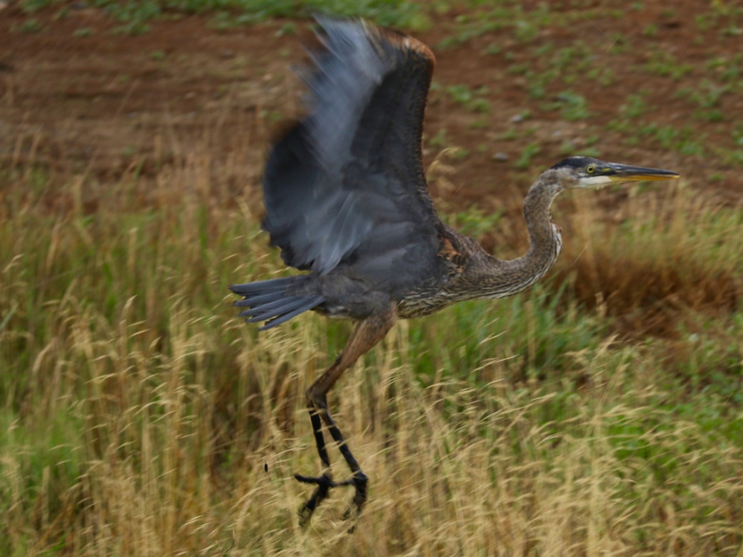 A blue heron takes flight at the Nisqually Wildlife Refuge