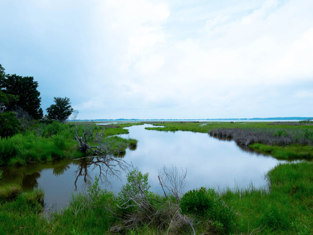 An inlet to the bay side of Assateague Island peers upon wildlife viewing areas