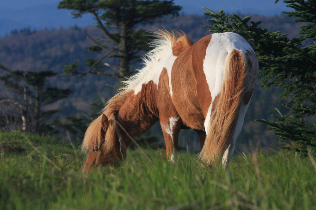 Wild ponies roam the higher altitudes at Grayson Highlands State Park, giving hikers yet another reason to tackle the nine-mile, round-trip hike to the summit.