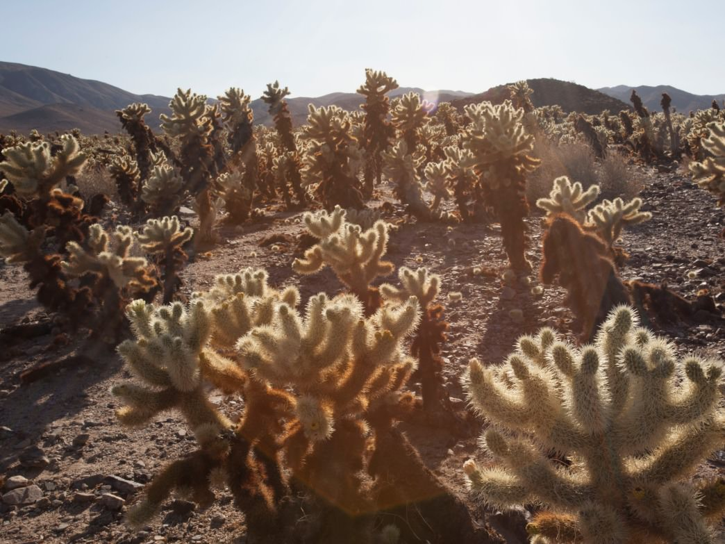The cholla cactus garden.