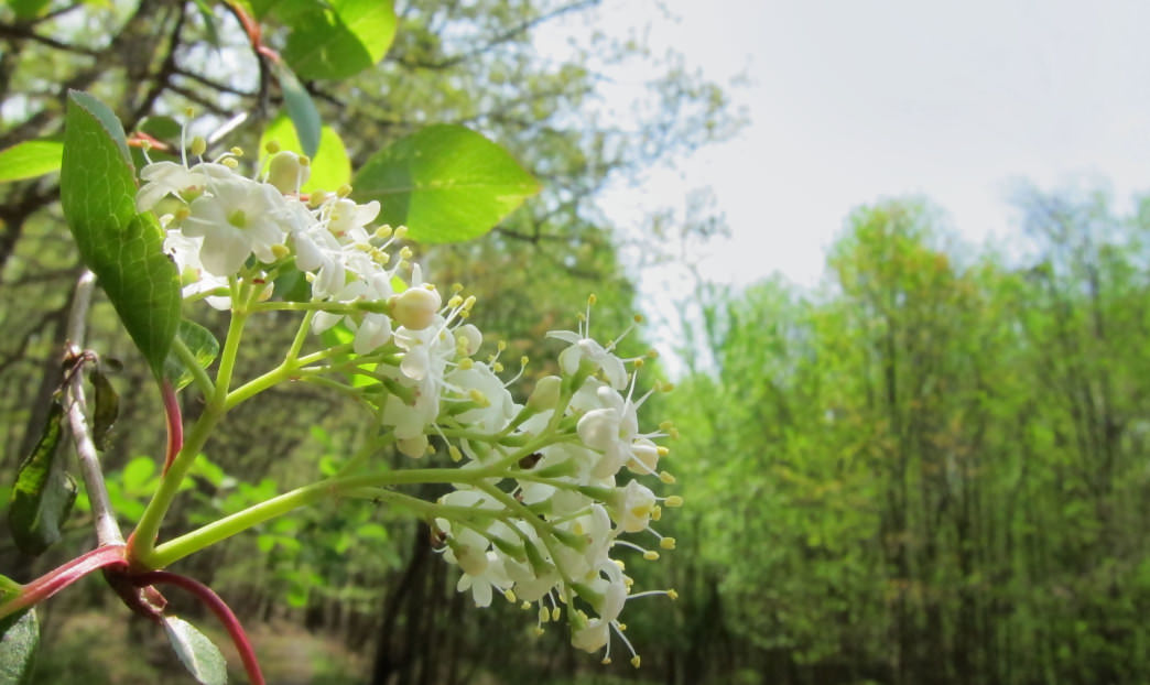 Expect to see mountain-laurel like this all over as you frolf your way through Greenbrier State Park.