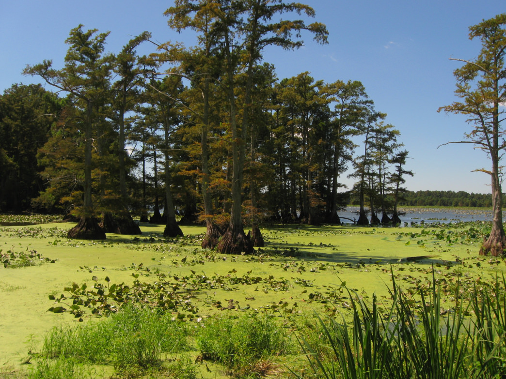 See cypress groves, lily pads, and lotus flowers, all from the seat of a canoe.