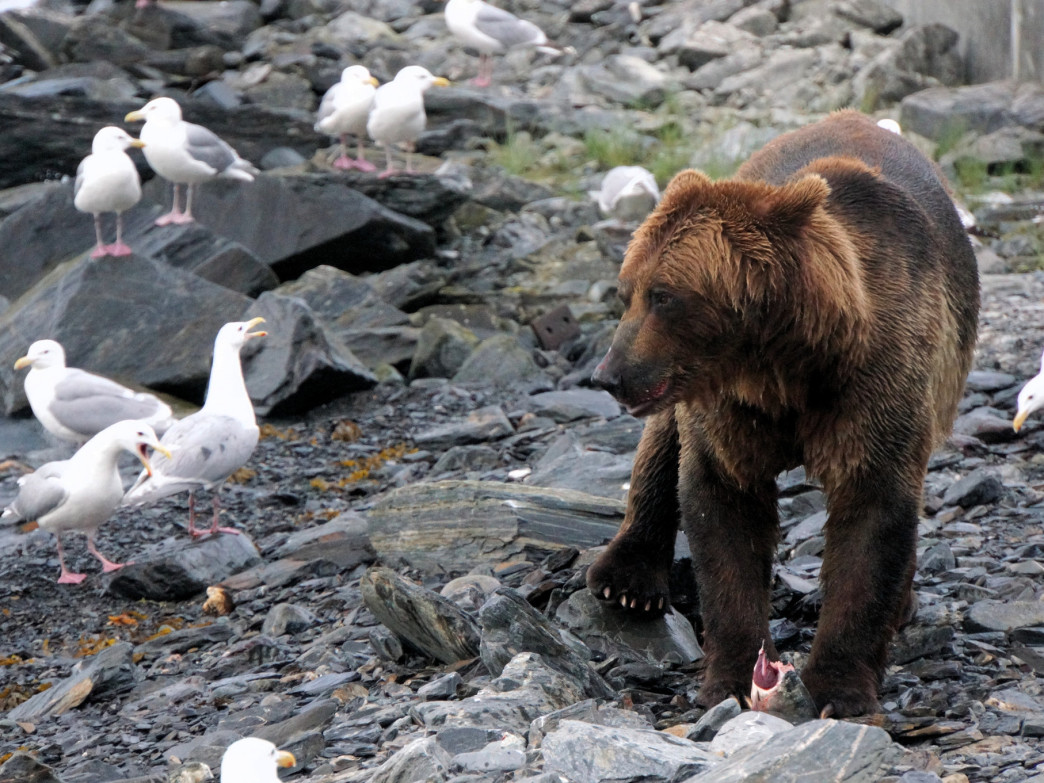 A grizzly prowling among the seagulls at the Solomon Gulch Hatchery in Valdez