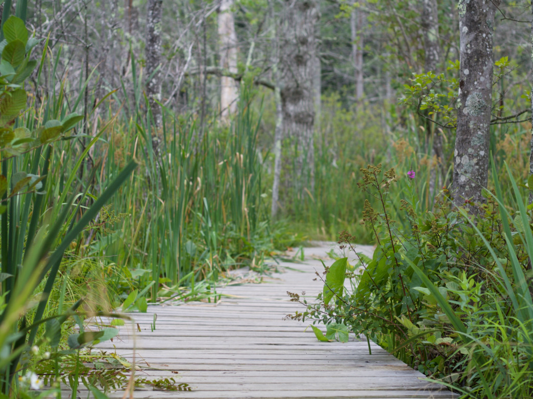 Boardwalks lead hikers through the wetlands throughout the sanctuary