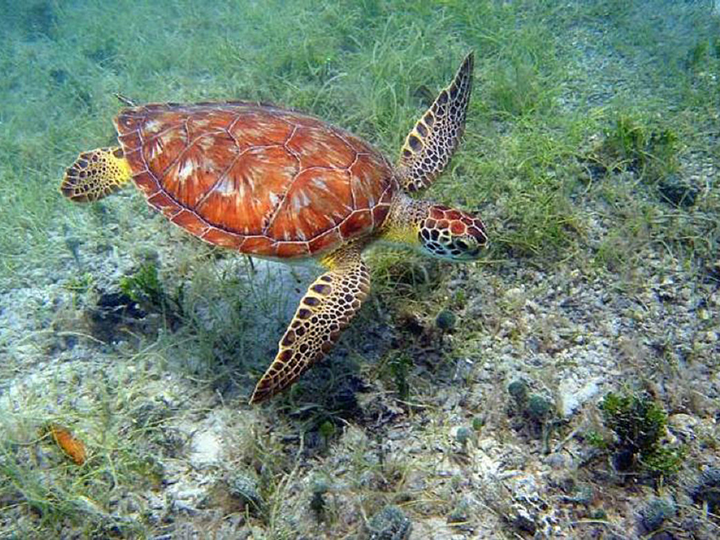 Green turtle swimming at Virgin Islands National Park.