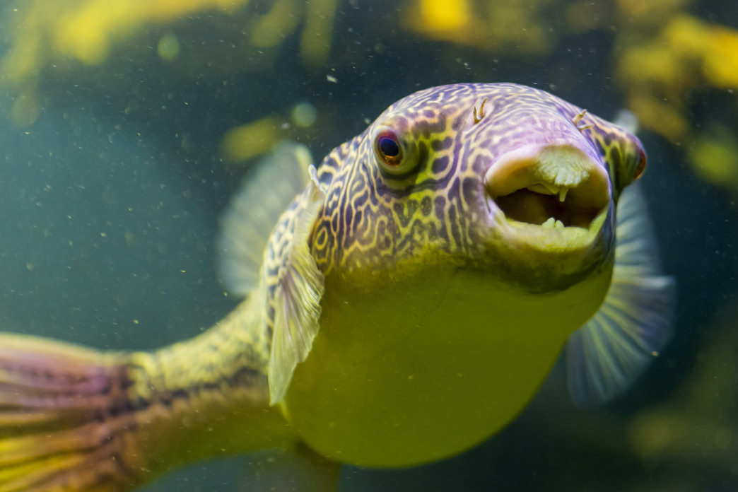 The pufferfish needs to be prepared very carefully in order to be safe to eat.