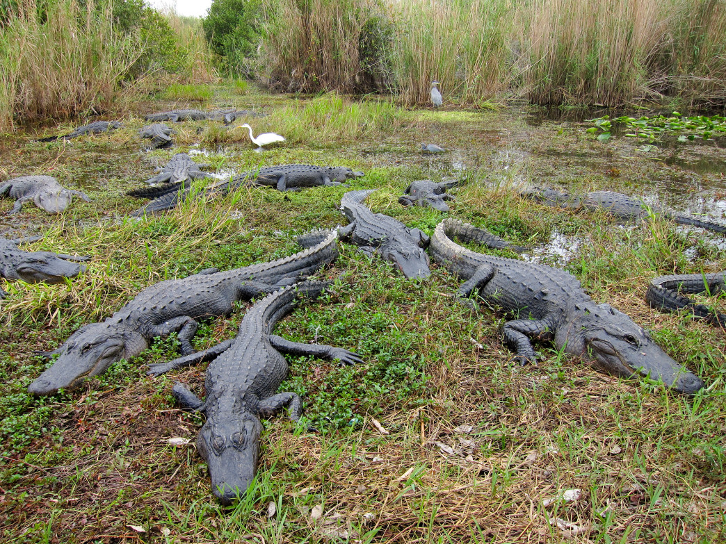 Hanging with the locals at the Everglades.