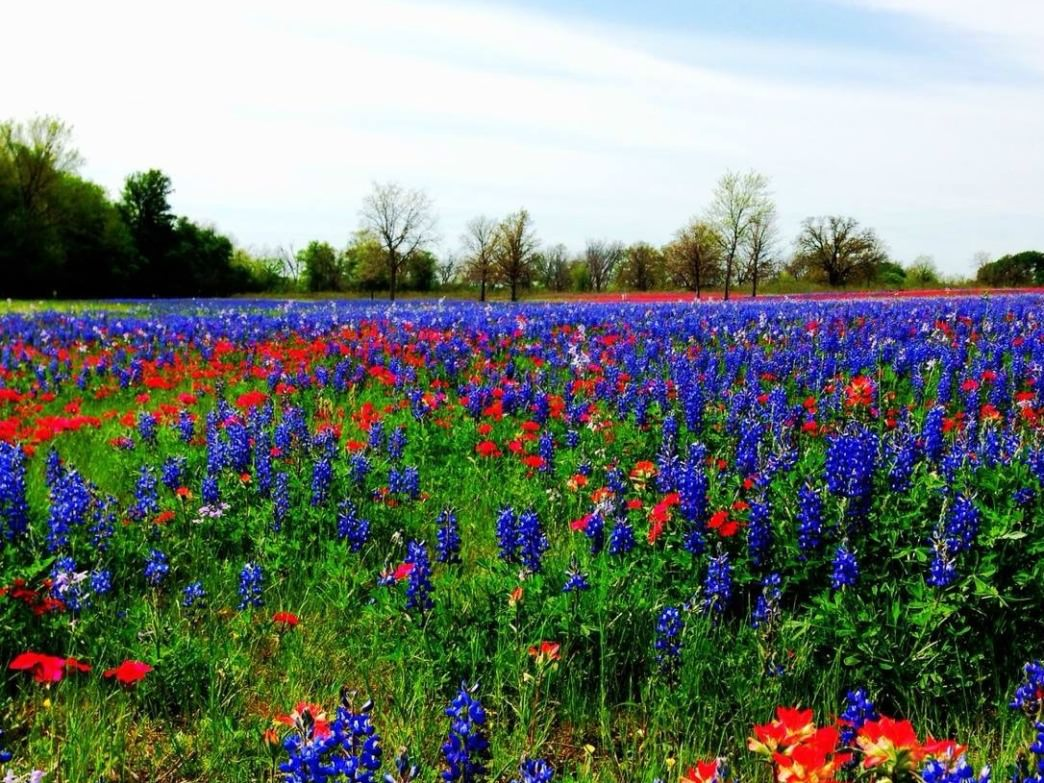 Fields of red and blue last for miles in rural Texas counties.