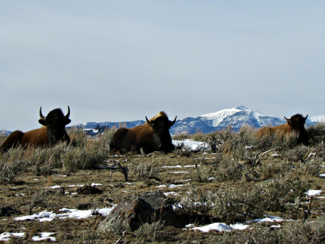 Yellowstone Bison and the Absaorka Range