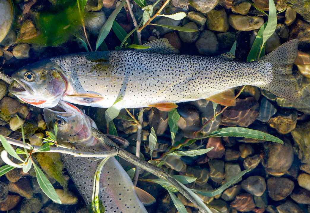 Trout are the main catch in these parts and if you're lucky, you may score yourself a trophy golden.