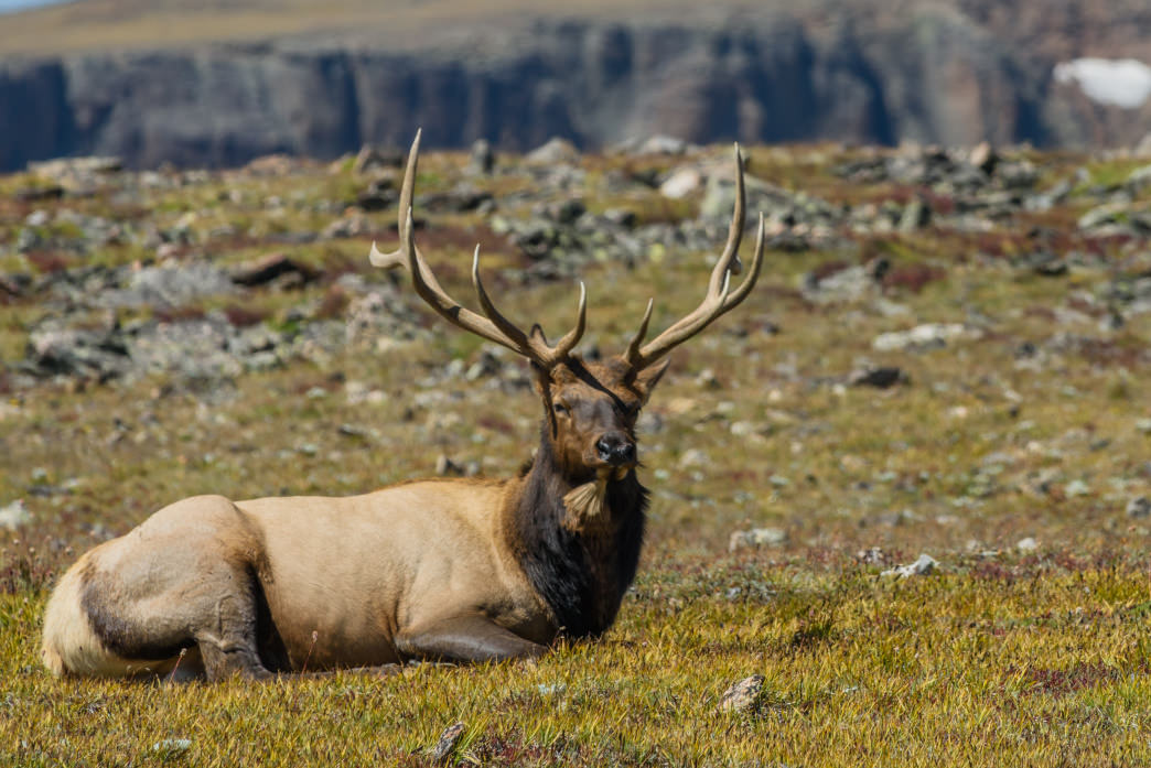 The haunting bugles of make elk resonate through Rocky Mountain National Park as the seasons change.     Unknown